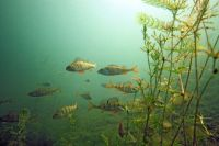 underwater perch footage, perch feeding, dvd, video, learn to catch perch, learn panfish dvd