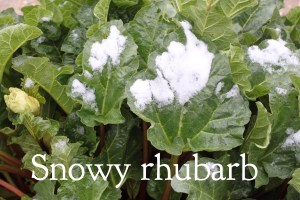 snowy rhubarb