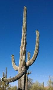 Scotttsdale Desert Cactus