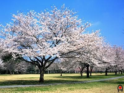 某公園の桜