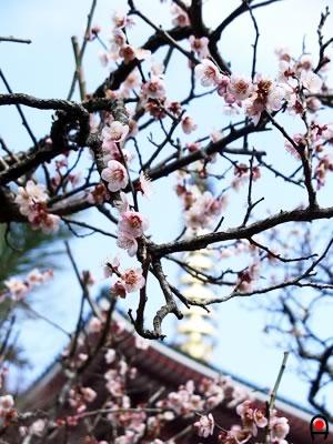 成田山公園の梅