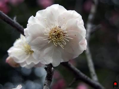 かしの森公園の梅