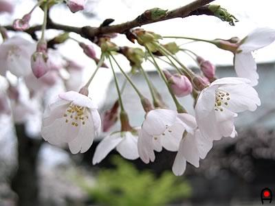 宗吾霊堂の桜
