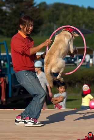大きい輪を飛んでくぐる犬の写真