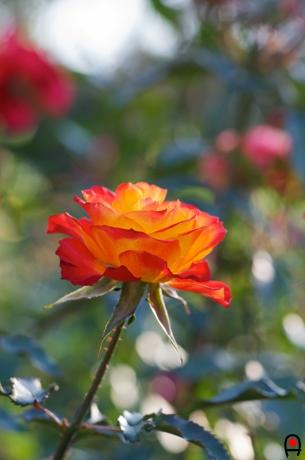 井頭公園の薔薇 錦の写真