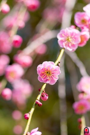 井頭公園のしだれ梅の花の写真
