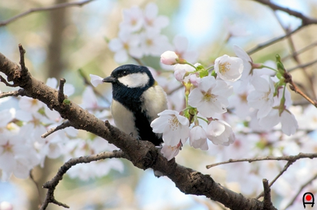 桜の花びらを銜えるシジュウカラの写真