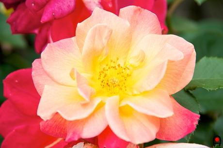 黄色に赤が混ざるジョセフスコートの写真
