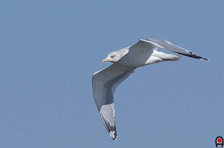 風上に向かって飛ぶセグロカモメ