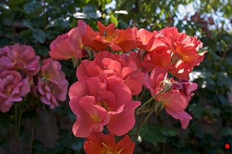 赤い薔薇の写真