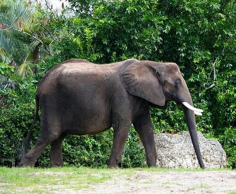 african-elephant-58434_640