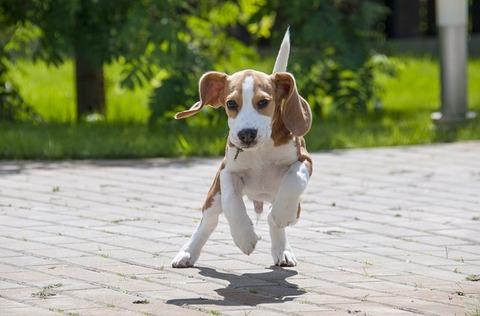 beagle-3877121_640