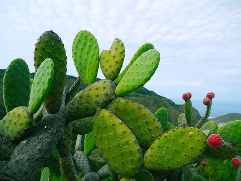 prickly-pear-1501307_640