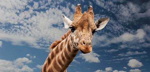 giraffe-614141_640