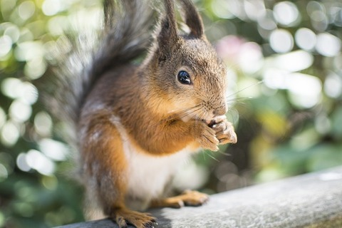 squirrel-2371509_640