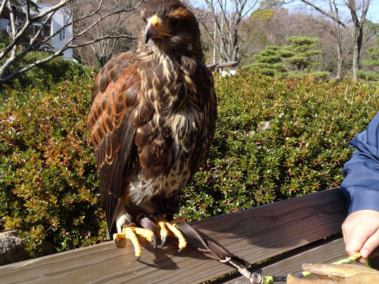 超初心者の鷹飼育日記 : もうすぐお正月