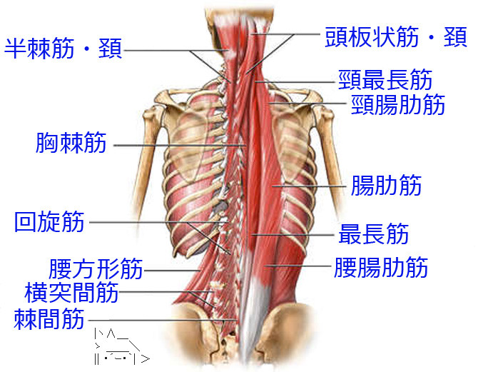 intrinsic-back-muscles