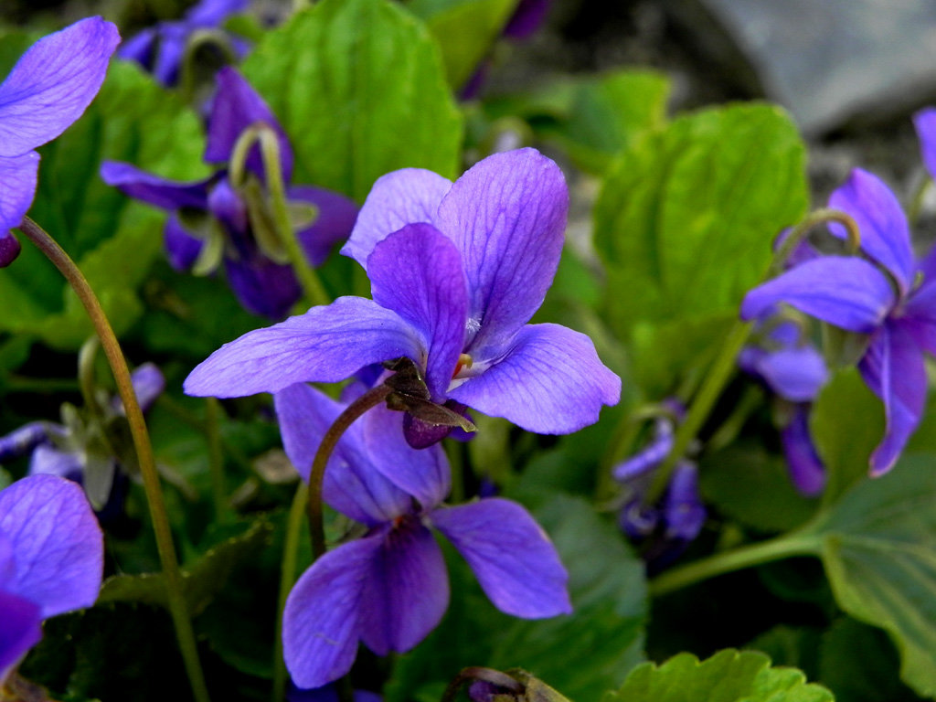 3月11日の誕生花【スミレの花言葉「誠実」】 : カムとキクタンの大満足時代