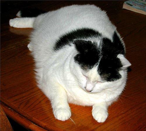1005px-Fat_cat_R