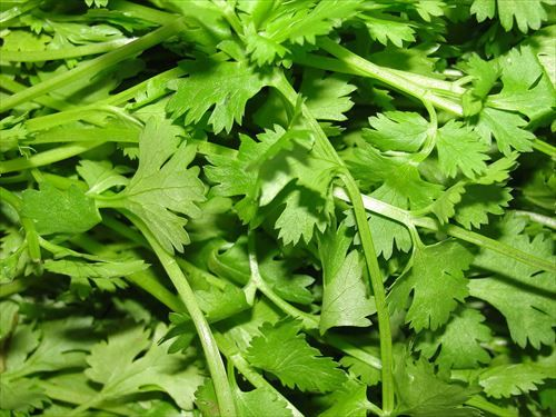 1200px-A_scene_of_Coriander_leaves_R
