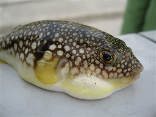 Young_species_of_Tetraodontidae_(fugu)_R