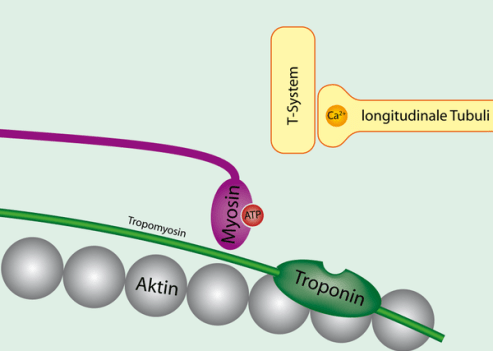Tropomyosin_bound_to_actin