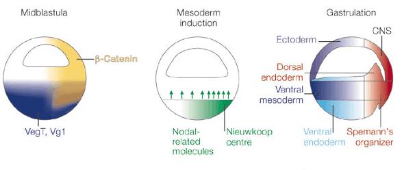 ノーダルタンパク質
