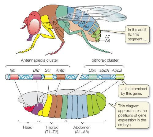 ホメオティック遺伝子