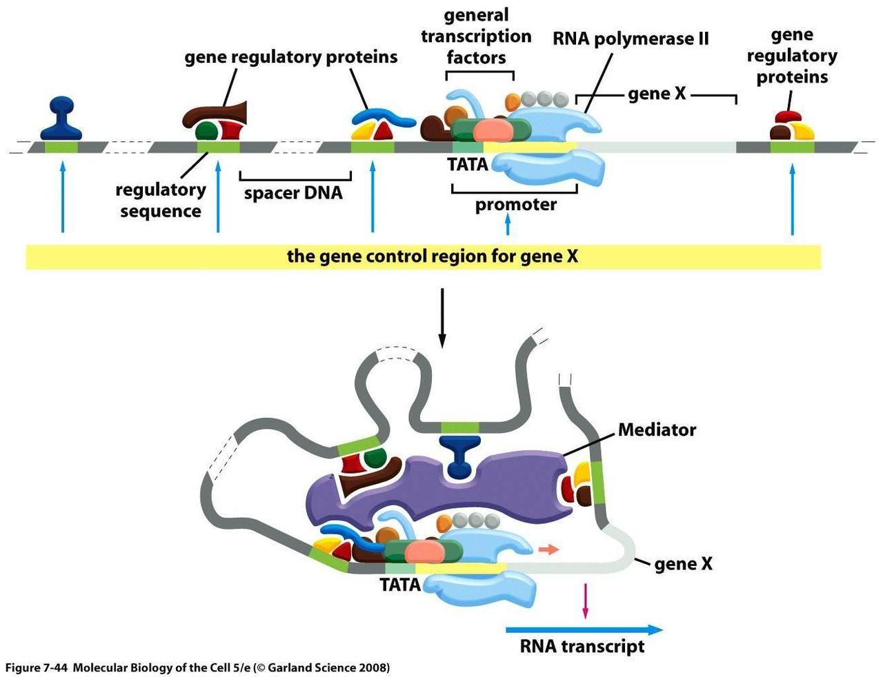 真核生物の遺伝子発現調節 | Bio...