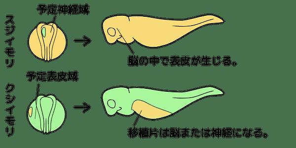 シュペーマンの実験