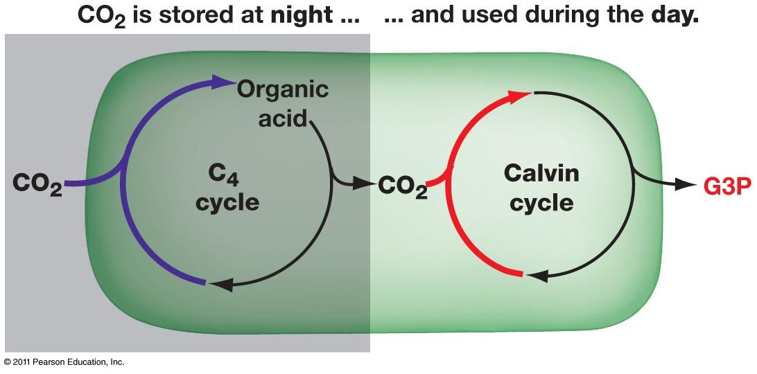 C4植物とCAM植物の共通点と違い ...