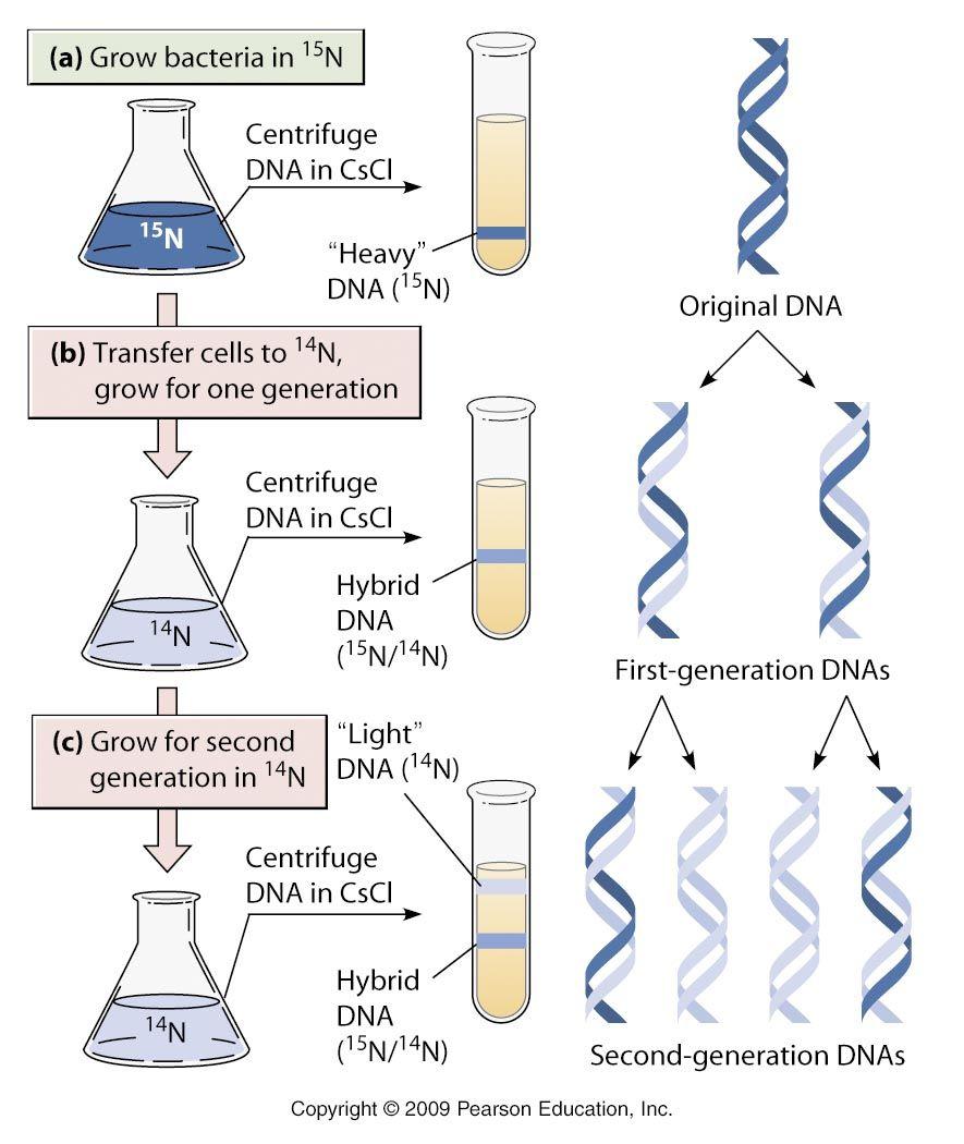 論述]DNA熱変性と急冷 | BioHuc...