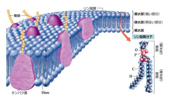 流動モザイクモデル | バイオハック|おうちで学べる生物学