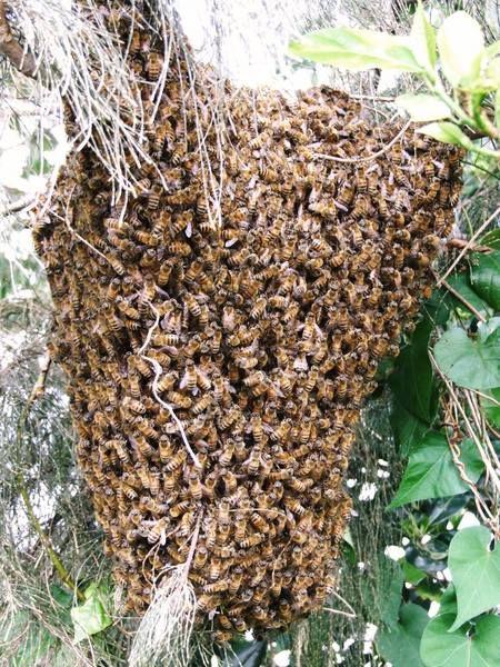 どんづまり溫泉 : 日本ミツバチの分蜂