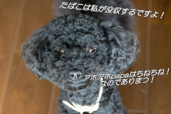 ブログRosieトイプードル銀座リリーとドナas know as de wan68