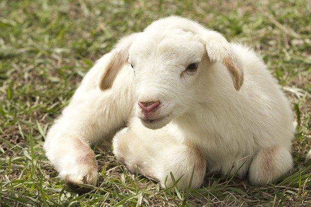 lamb-2216160_640