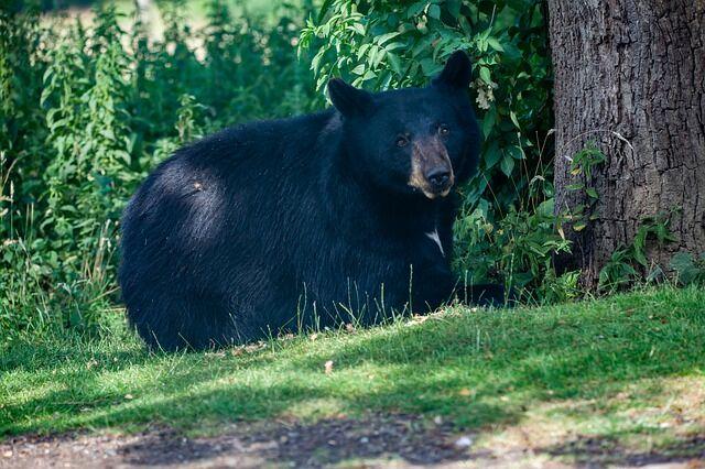 black-bear-4361435_640