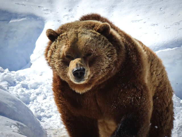 grizzly-4963277_640