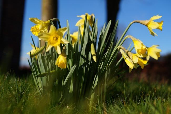 daffodils-283070_960_720