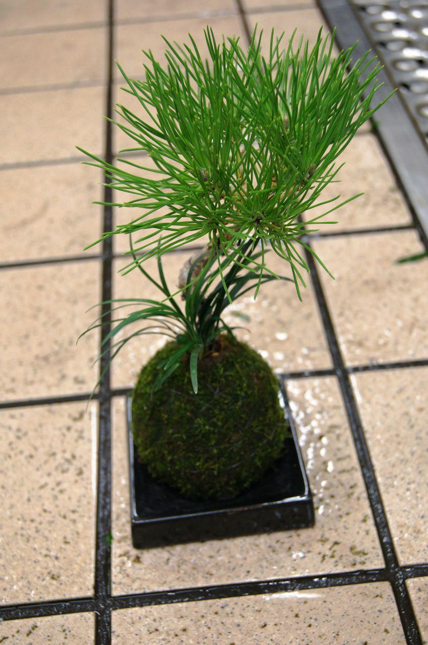 苔玉取り扱い販売 - 花重 京都 hanajyu