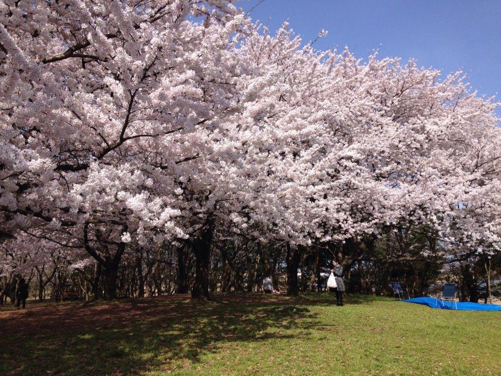 春です!桜です!桜と言えば『お花見』!新潟市社會人 ...