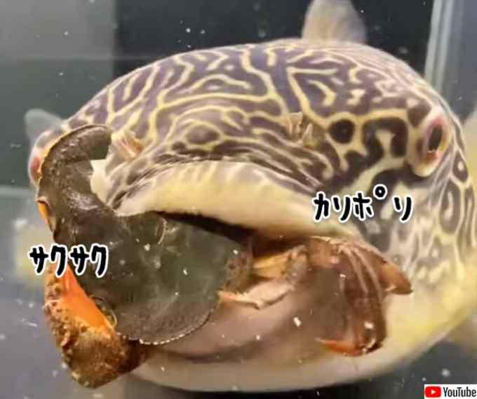 生きたカニを殻のまま完食するフグの強靭な歯の力