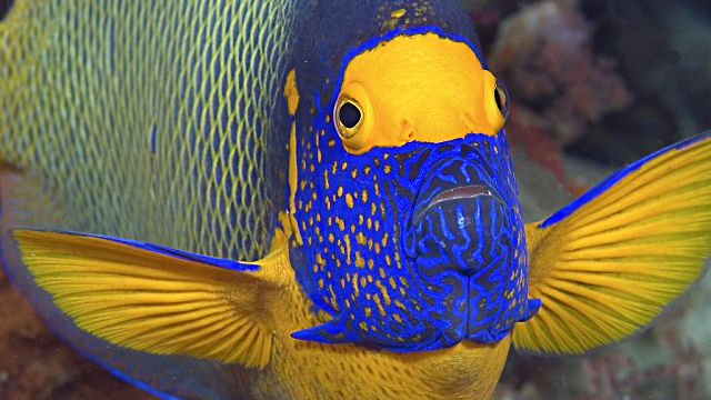 Blueface-Angelfish_ea