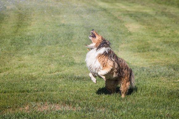 sprinkler-dog_pixabay