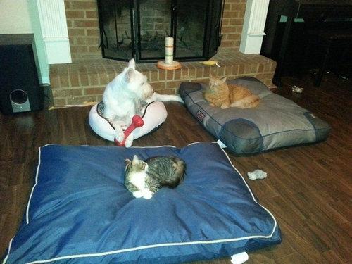 猫にベッドを奪われる犬たち15