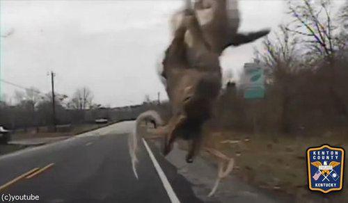 鹿とパトカーが接触事故03