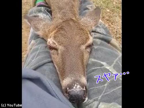 鹿がお昼寝場所に選んだのは…00