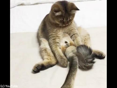 猫「しっぽは最高のおもちゃ」00