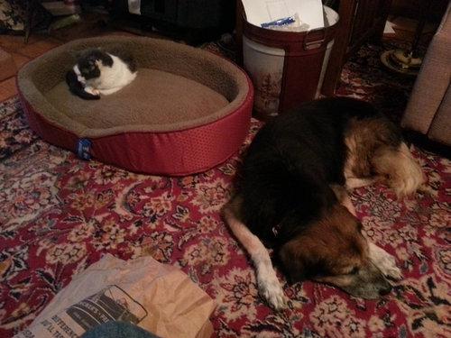 猫にベッドを奪われる犬たち06
