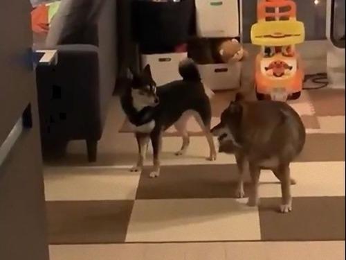 犬たちの遊びのルールがわからない00